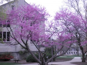 Purple Blossoms Outside of Buck