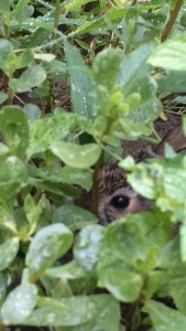 Peace Garden Population Sampling: Baby Bunny - C.R.